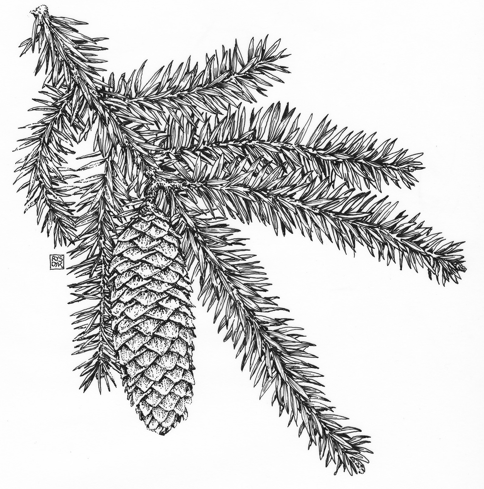 Fig. 16.1 Norway Spruce copy
